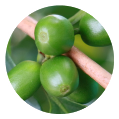Green Coffee Bean Extract Provides Antioxidants