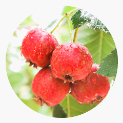 Hawthorn Ingredient as an Adaptogen